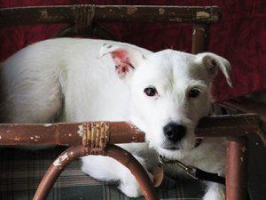 Medium white dog moodily sitting in chair.